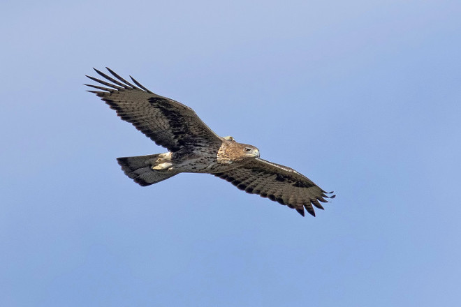 Adult Bonelli's Eagle in flight with its GPS emitter visible on the back.