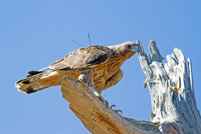 Bonelli's Eagle reintroduced with its visible transmitter