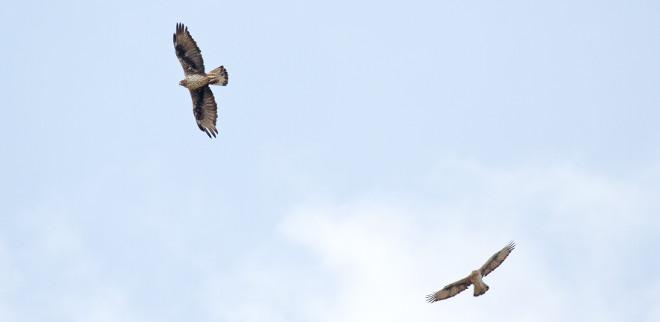 Águilas de Bonelli en vuelo. Son la hembra Haza y el macho Bélmez, primera pareja reintroducida de su especie que ha logrado criar en la Comunidad de Madrid. Foto: Sergio de la Fuente / GREFA.