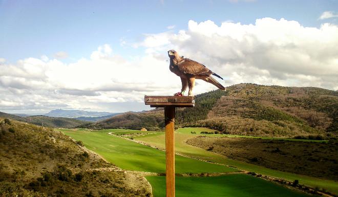 Imagen de fototrampeo del águila de Bonelli