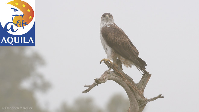 Ejemplar adulto de águila de Bonelli. Foto: Francisco Márquez.