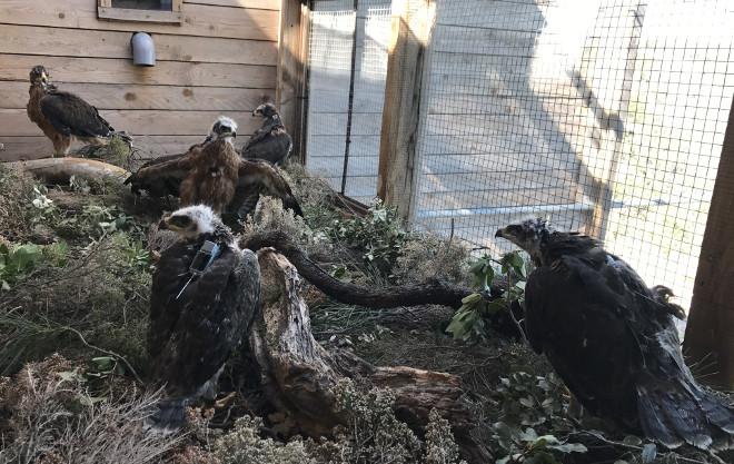 Las cinco águilas de Bonelli recientemente trasladadas a Cerdeña están ya en el jaulón de aclimatación instalado en la zona de suelta.