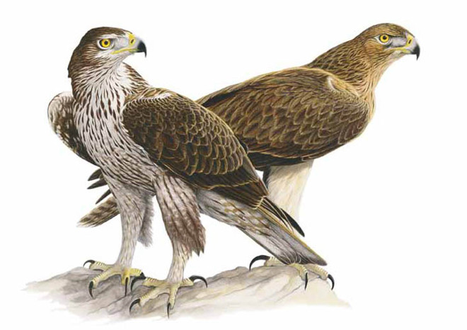 THE REINTRODUCTION OF BONELLI'S EAGLE (Aquila fasciata