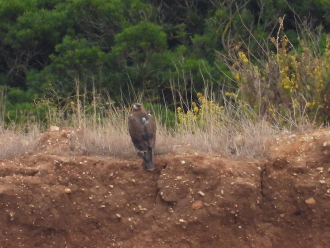 Reintroduction of Bonelli's eagle in Sardinia Action D.1 Post release monitoring 2019